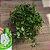 Hoya krohniana 'sweet heart' (cuia 21 várias mudas) - Imagem 1