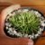 Haworthia chloracantha denticulifera - Imagem 2