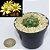 Mammillaria sphaerica - Imagem 1