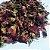 Rosa-rubra (Rosa gallica) - Flores - Imagem 1
