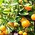 Citrus Aurantium 500mg - Imagem 2
