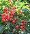 Cordia Ecalyculata 300mg - Imagem 2