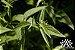 Pfaffia Paniculata 500mg - Imagem 2