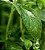 Stevia Natural Folha  - BELEZA DA TERRA - Imagem 1