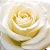 Rosas Brancas Avalanche - 01 Pacote com 20 unidades  - Escolha o tamanho abaixo: - Imagem 2