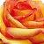 Rosas Ambiance - Pacote com 20 unidades - Escolha o tamanho abaixo: - Imagem 2