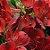 Astromélia Vermelha Pacote 10 Hastes - Imagem 1