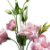 Lisianthus Rosa Bebê Pacote - Imagem 2