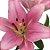 Lírios de Corte Rosa Claro Pacote 05 Hastes - Imagem 3
