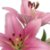 Lírios de Corte Rosa Claro Pacote 05 Hastes - Imagem 2
