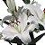 Lírios de Corte Branco Pacote 05 Hastes - Imagem 2