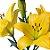 Lírios de Corte Amarelo Pacote 05 Hastes - Imagem 2