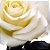 Rosas Vermelhas e Brancas para Arranjo em Vaso - Imagem 2