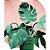 Vaso costela de Adão  - Imagem 1