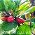 Muda De Fruta Do Milagre Em Promoção No Pomar Galvão - Imagem 1