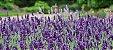 Sementes de Lavanda (Alfazema): 15 Sementes - Imagem 3