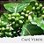 Óleo de Café Verde - Imagem 1