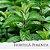 Óleo Essencial de Hortelã-Pimenta - Imagem 1