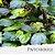 Óleo Essencial de Patchouli - Imagem 1