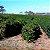 SÍTIO MORRO PRETO -BOURBON VERMELHO - The Good Coffee Roaster - Imagem 4