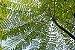 Guapuruvu - Lindas Mudas - Imagem 4