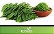 Moringa Oleifera - Lindas Mudas - Imagem 2