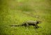 Pelúcia Iguana Verde - Imagem 2