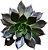 ECHEVERIA BLACK PRINCE - CUIA 18 - Imagem 2