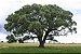 Marula ou Amarula - A verdadeira Fruta Que Produz o Famoso Licor - Raridade - Muda Clonada Produz em Vaso - Imagem 3