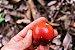 Envira Cajú - Onychopetalum Periquino - Considerada a melhor fruta da Amazônia! - Imagem 2