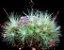 Tillandsia Fuchsii - Air Plants  - Imagem 2