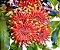 Árvore Roda-de-Fogo - Muito Rara e Exótica ! - Imagem 2