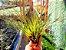 Tillandsia Tricolor Melanocrater - Air Plant - Imagem 4