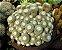 Cacto Notocactus scopa - Imagem 3