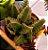 Mini Crassula Capitella Thyrsifolra  - Suculenta - Imagem 5