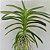 Vanda Neofinetia Falcata - RARIDADE- Planta Adulta - Imagem 4