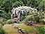 Rosa Trepadeira Rambling Rector Mini Branca Haste Multi floral - Enxertada - Imagem 2