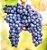 Cabernet Sauvignon Uva de Vinho - Mudas Enxertadas - Produz em Climas TEMPERADOS E QUENTES - Imagem 1