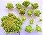Brócolis Romanesco - kit c/ 8 Sementes - Imagem 6
