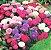 Áster-da-China Pluma de Avestruz - Cor Sortida - kit c/ 20 Sementes  - Imagem 3