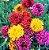 Gaillardia de Flor Dobrada - Cores sortidas - kit c/ 20 Sementes  - Imagem 2