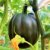 Abóbora Pérola Negra Muito Saborosa - Raridade - kit c/ 4 Sementes - Imagem 2