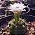Cacto Gymnocalycium anisitsii  - Imagem 2