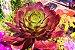 Aeonium Cyclops - Suculenta - Imagem 2