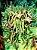 Cacto Orbea Variegata - Mini Flor Estrela  - Imagem 2