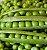 Ervilha Telefone Alta - Kit c/ 10 sementes - Imagem 4