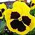 Amor-Perfeito Gigante Suíço Amarelo - Kit 20 c/ sementes - Imagem 4