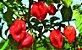 Pimenta Boyra Habanero Vermelha - Kit c/ 20 sementes - Imagem 5