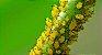 Óleo de Neem Nim Galão 5 Litros Natural Para Hortaliças - Imagem 8