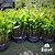 Guanandi - Calophyllum brasiliense (Valor da unidade caixa com 50 mudas) - Imagem 1